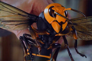 'Slash Film: 'Attack of the Murder Hornets' Clip: Discovery+ Documentary Digs Into the Killer Insects'